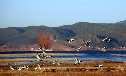 雲南麗江 去拉市海看鳥