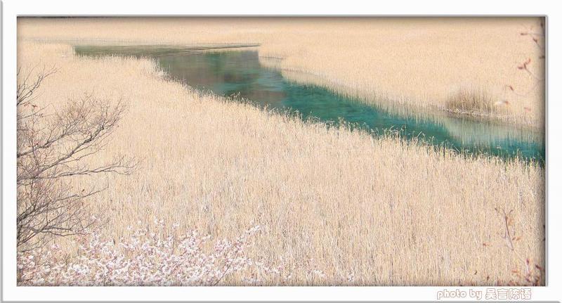照片:九寨-芦苇海