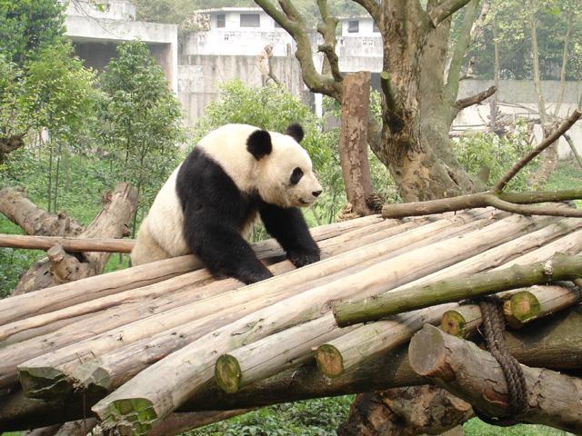 照片:成都熊猫繁殖基地