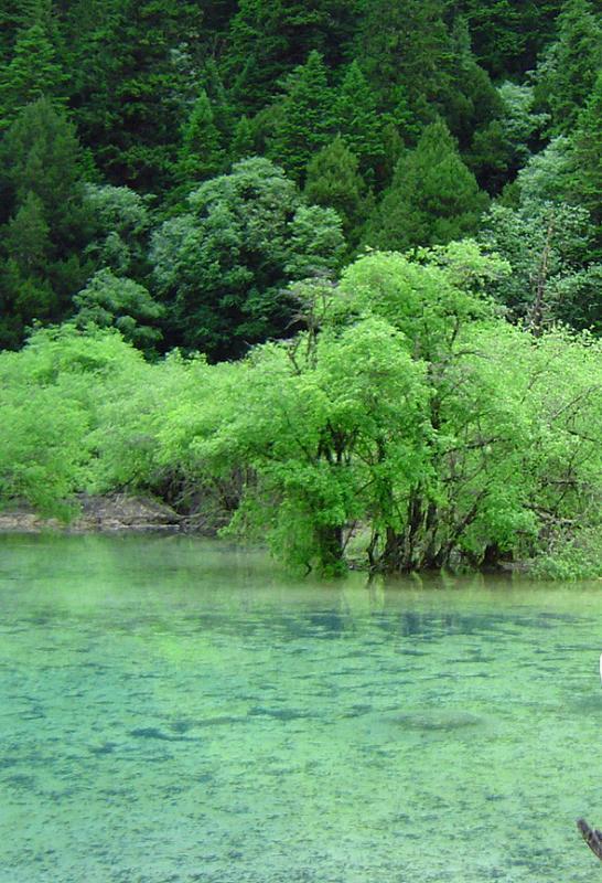 照片:黄龙-树
