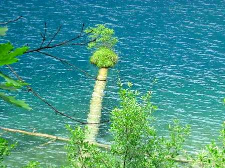 照片:九寨-树中树