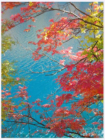 照片:九寨的碧水红叶