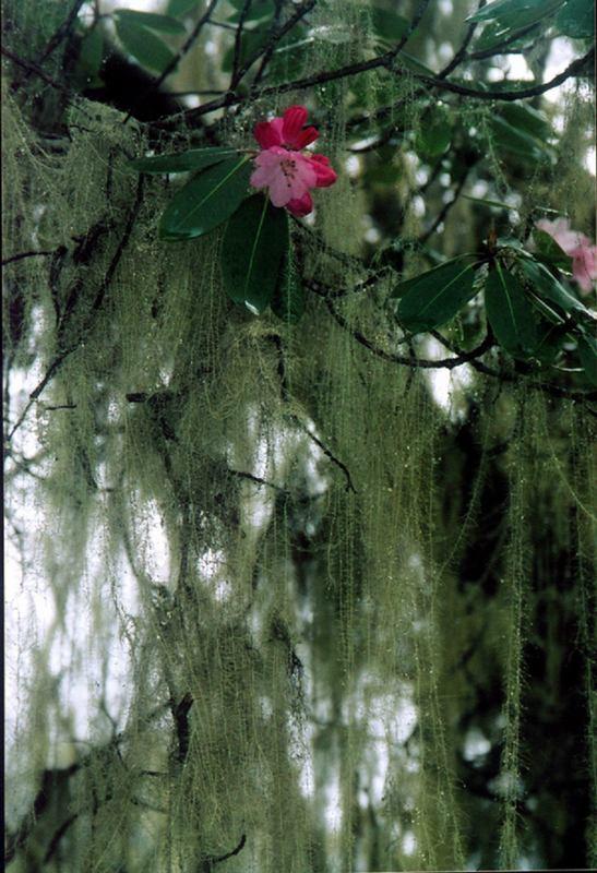 照片: 松萝开花