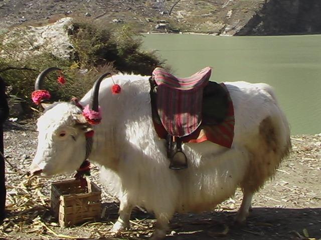 照片:白牦牛