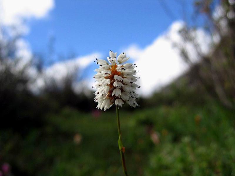 照片:松潘的花
