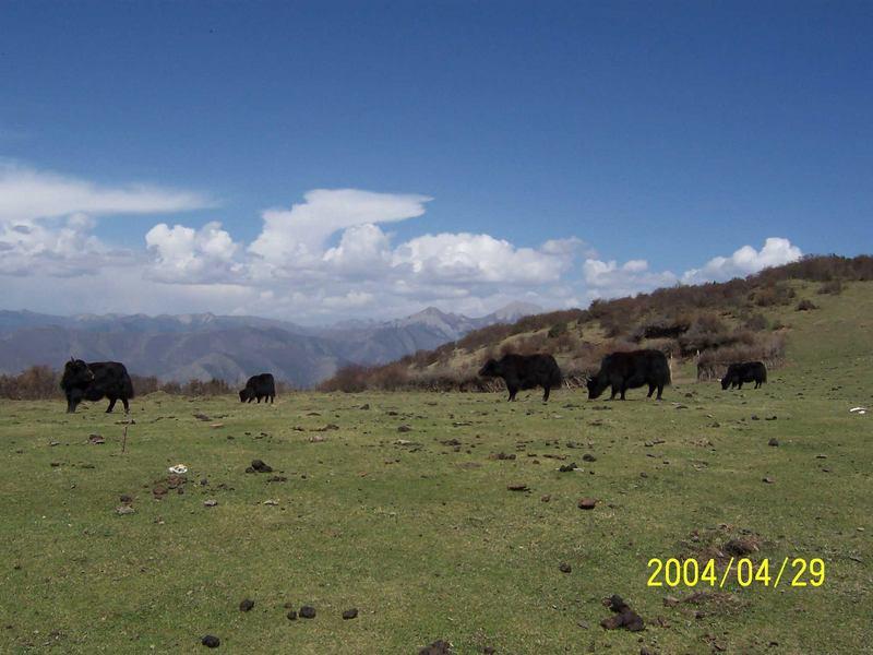 照片:松潘放牛