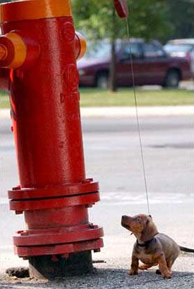 圖文:8周大的德國獵犬好奇地盯著路邊消防栓