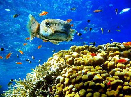 圖文:密斑刺魨遊過珊瑚叢