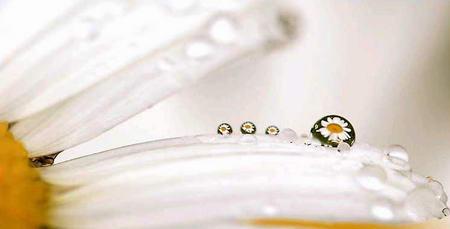 圖文:花瓣上的水珠折射出許多朵春白菊