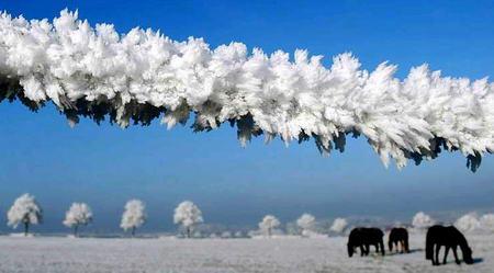 圖文:馬群在被冰凍了的圍欄裡吃草