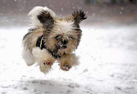 圖文:一隻盲犬在雪中奔跑