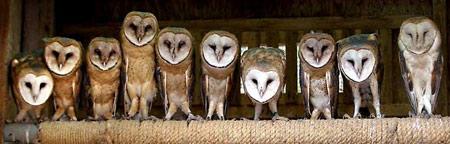 圖文:10只年幼的貓頭鷹並排站立