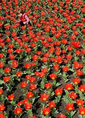 圖文:女孩兒在一片紅色的鬱金香叢中玩耍