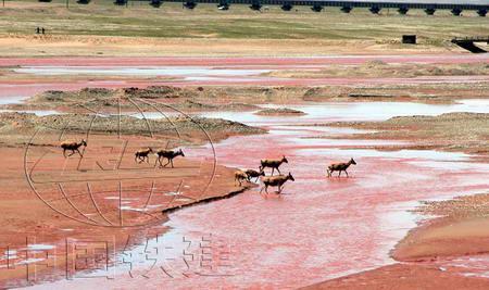 圖文:藏羚羊通過楚瑪爾河