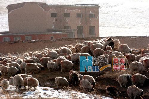羊群在原子城生產區保留下來的一棟樓體前閒步吃草