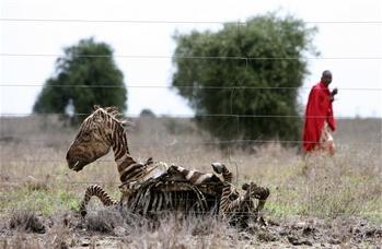 圖文:肯尼亞男子走過一隻斑馬乾屍