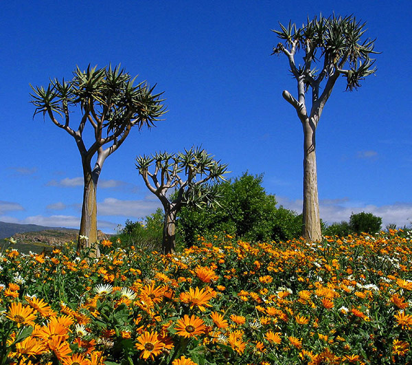南非納馬誇蘭花海