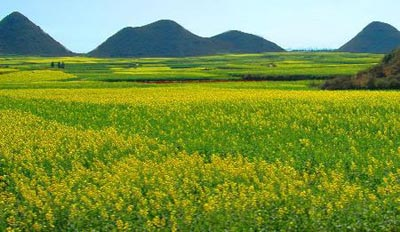 _走進羅平:金燦燦的高原花海_樂途旅遊網