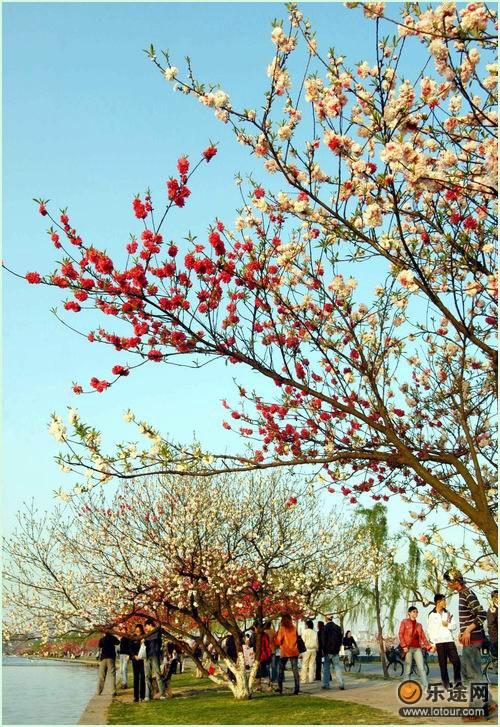 白堤上盛開的桃花_
