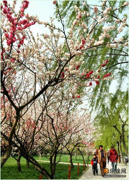 蘇堤上盛開的桃花_