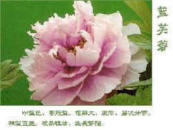 藍芙蓉_牡丹花