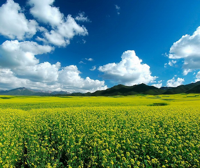 圖片:中國最美的油菜花