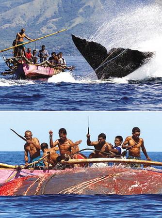 印尼原始島民海上撐竿飛躍捕巨鯨(圖)