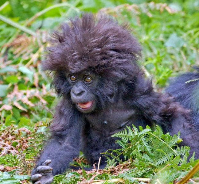 圖片:髮型超酷的小猩猩