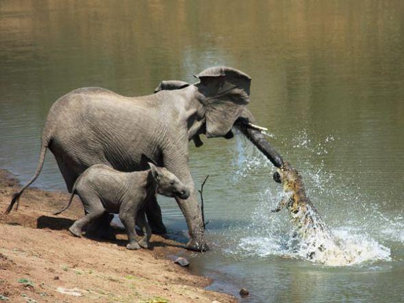 鱷魚攻擊大象