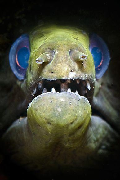 """2010年最佳海底攝影照片:藍眼鰻魚"""""""