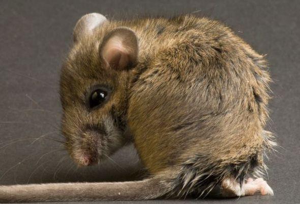 雄性老鼠為贏得雌性芳心睪丸進化更大