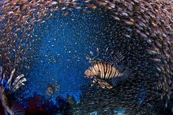 2010年最佳海底攝影照片:孤獨的獅子魚