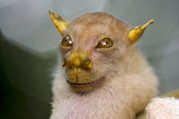 """以""""尤達大師""""果蝠為代表的稀有物種"""