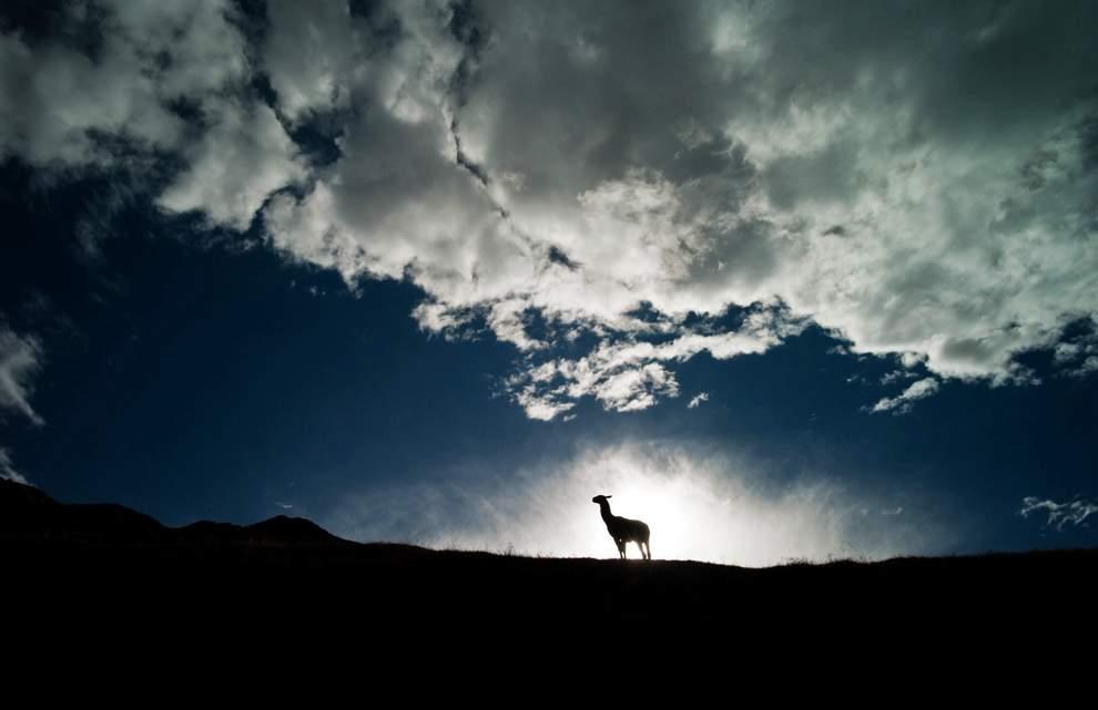 高清圖片:2010年美國國家地理攝影大賽作品-夕陽已經西下,一頭美洲駱駝還站在山頂