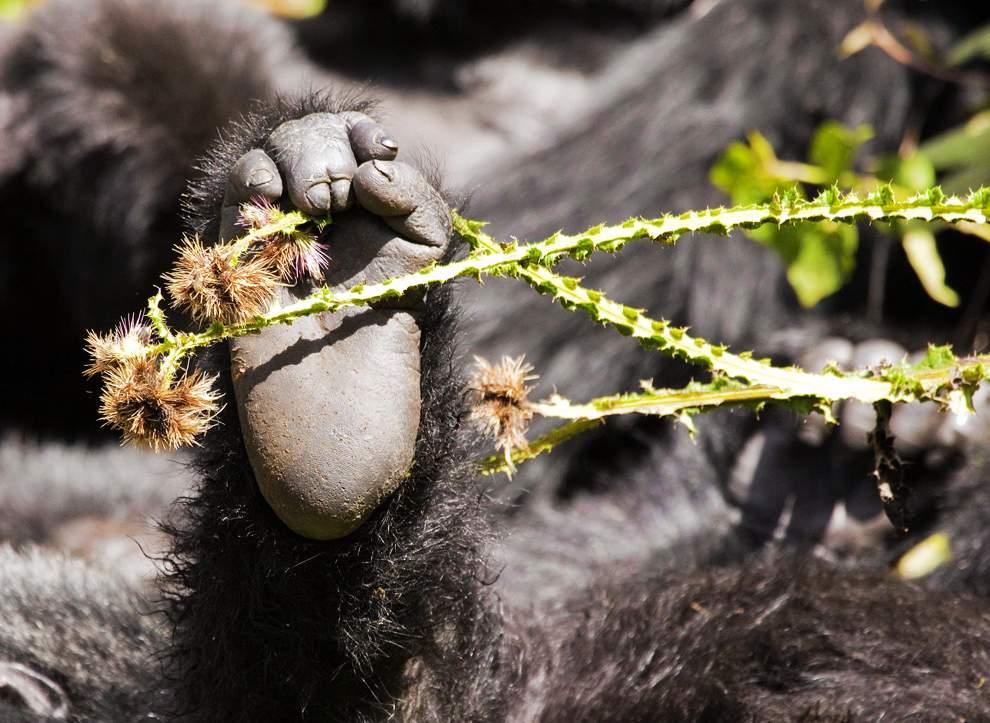 高清圖片:2010年美國國家地理攝影大賽作品-盧旺達山地大猩猩