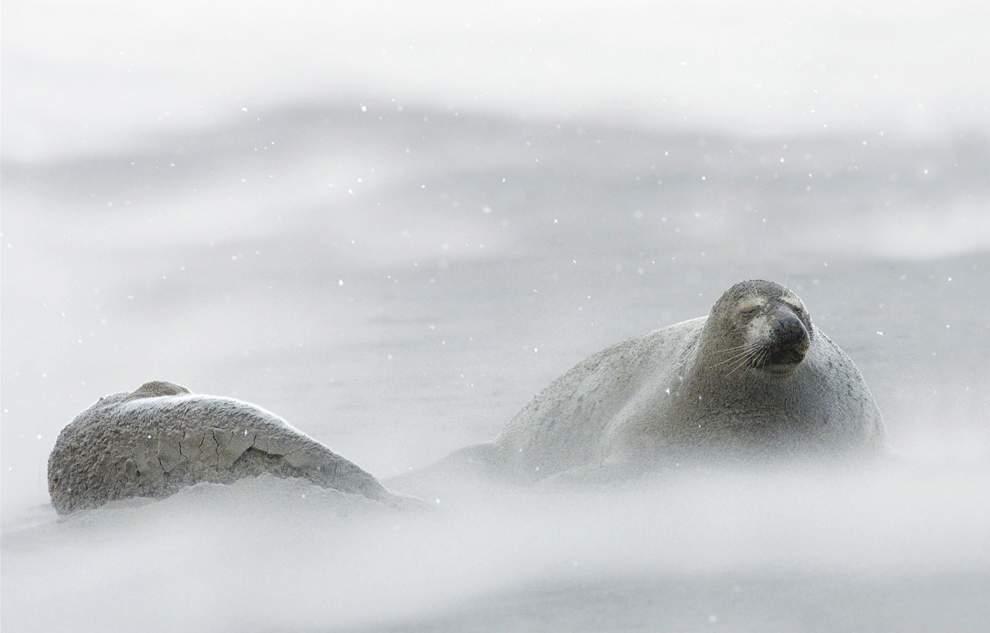 高清圖片:2010年美國國家地理攝影大賽作品-經受北大西洋冬季暴風雪考驗的海豹
