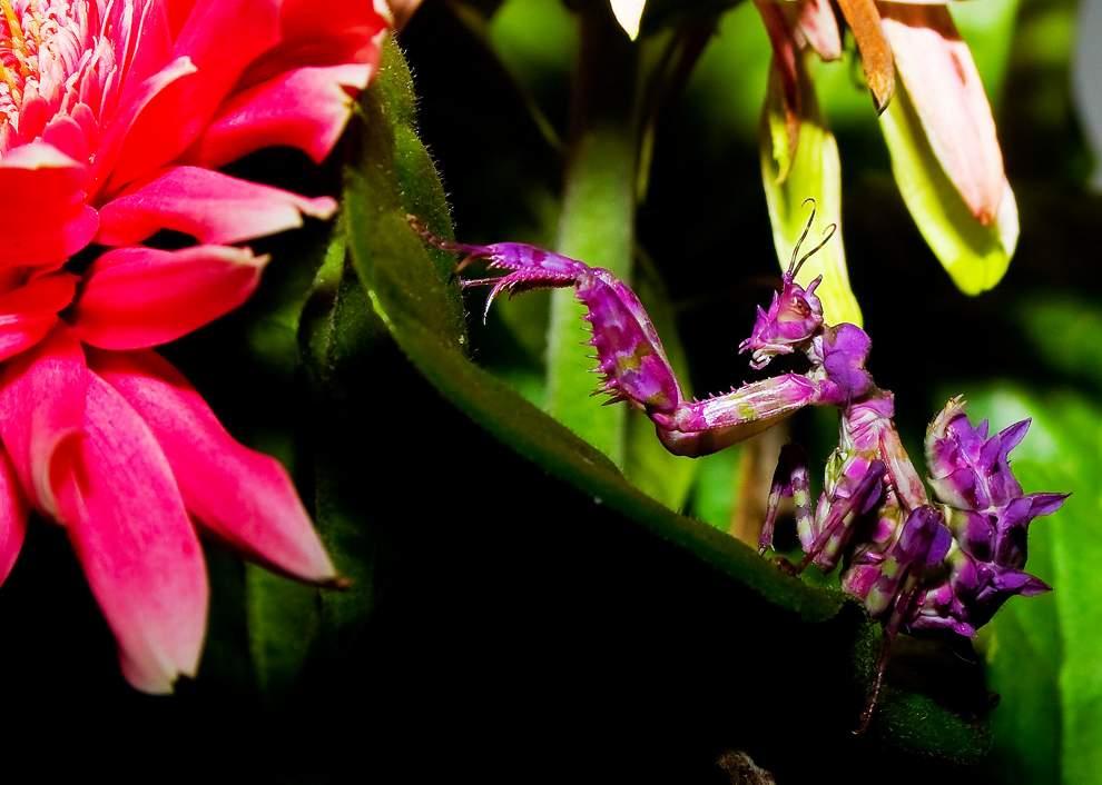高清圖片:2010年美國國家地理攝影大賽作品-作揖的螳螂
