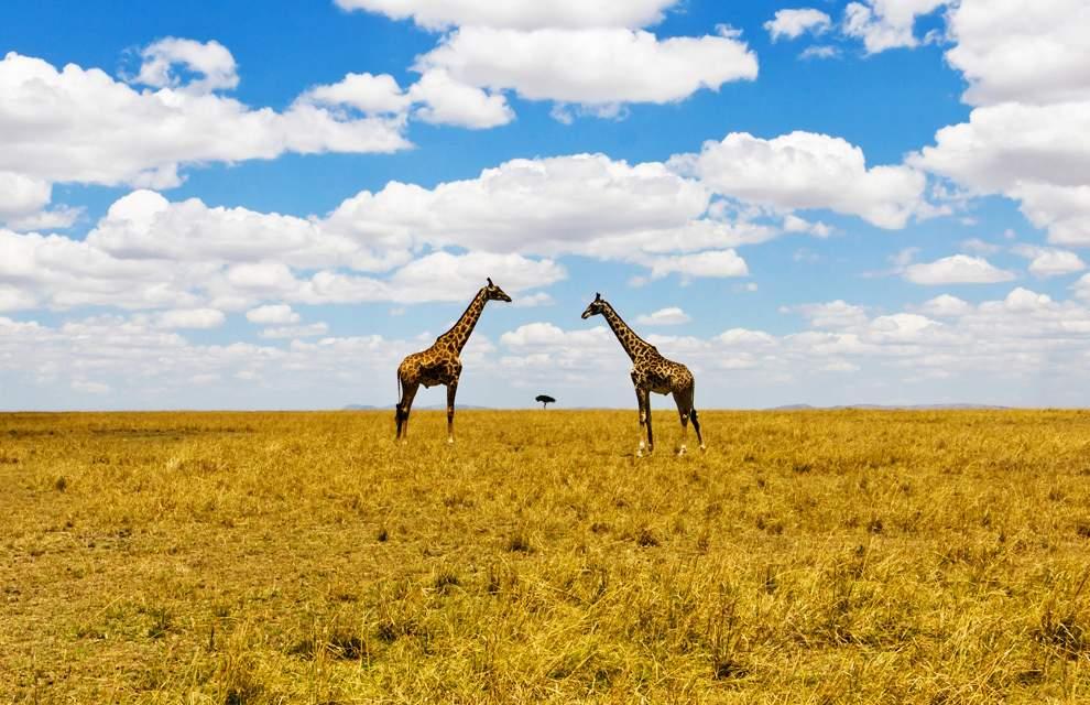 高清圖片:2010年美國國家地理攝影大賽作品-非洲大草原上的長頸鹿