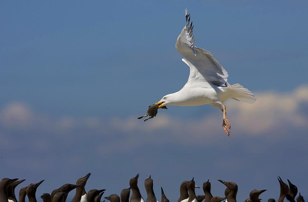 高清圖片:2010年美國國家地理攝影大賽作品-搶劫海鳩雛鳥的銀鷗