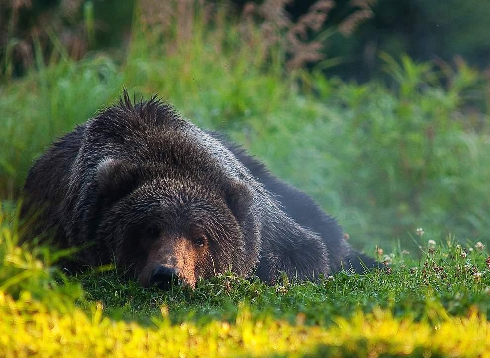 高清圖片:2010年美國國家地理攝影大賽作品-阿拉斯加州科迪亞克島布什金河畔的棕熊