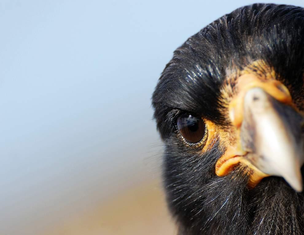 高清圖片:2010年美國國家地理攝影大賽作品-這種鳥目前僅存400只