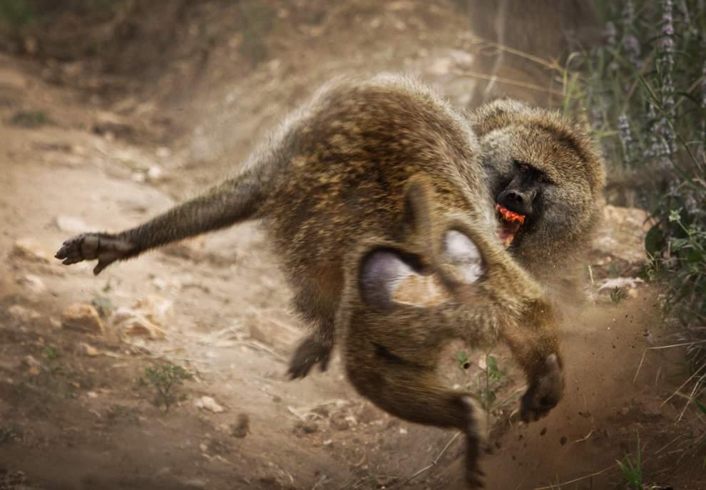 高清圖片:2010年美國國家地理攝影大賽作品-照片中靠前的那只狒狒正在騷擾一隻小狒狒