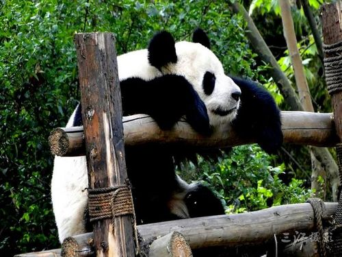 圖片:去成都不可不做的八件事-大熊貓