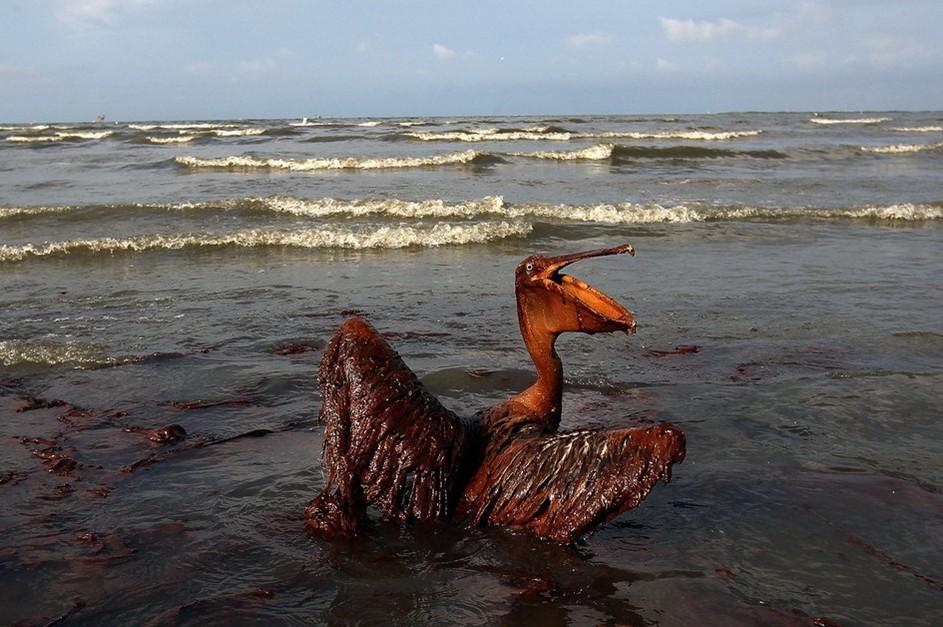 圖片:一隻海鳥全身涵蓋著厚厚的油污