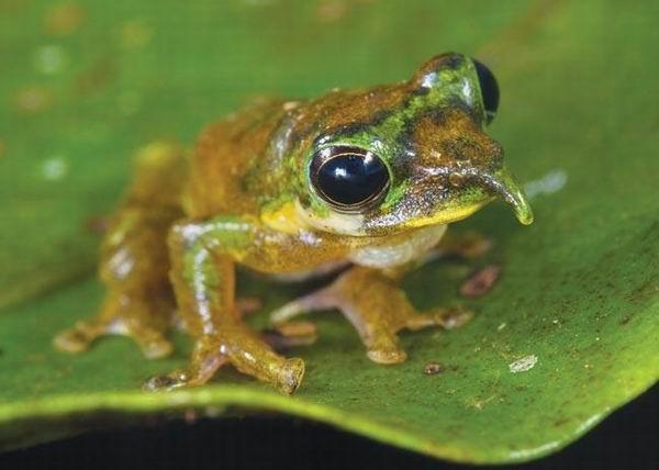 圖片:長鼻子青蛙